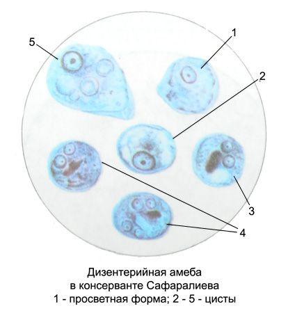дизентерийная амёба