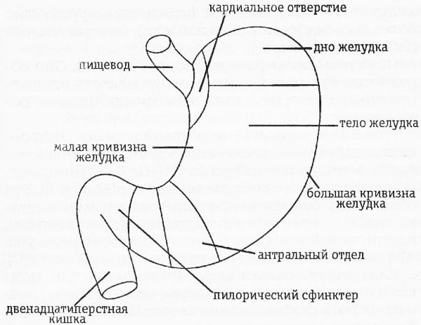 отделы желудка