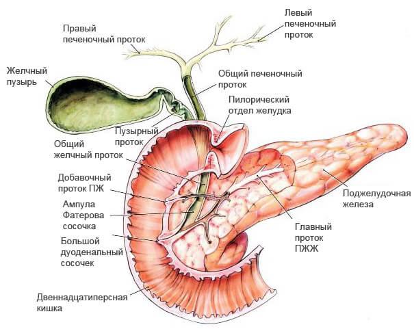 строение поджелудочной железы и её протоков