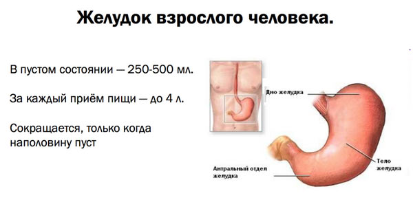 размер желудка взрослого человека