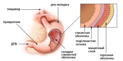 стенки желудка