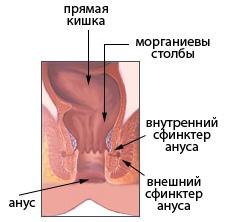 строение ануса