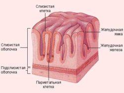 строение поверхности желудка