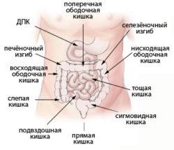 кишечник человека