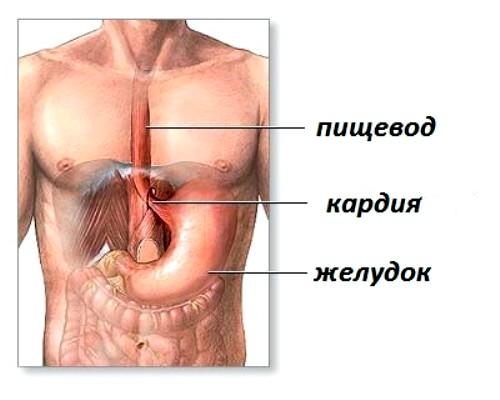 пищевод и желудок
