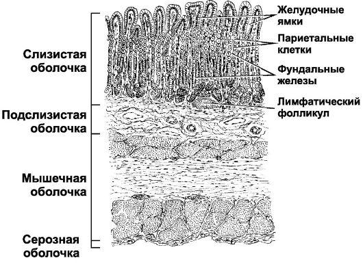 слизистые оболочки желудка