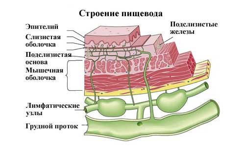 строение пищевода