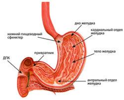 строение желудка человека