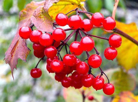 ягода калина