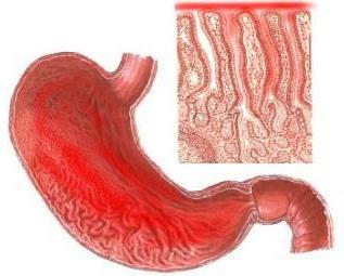 желудок в разрезе